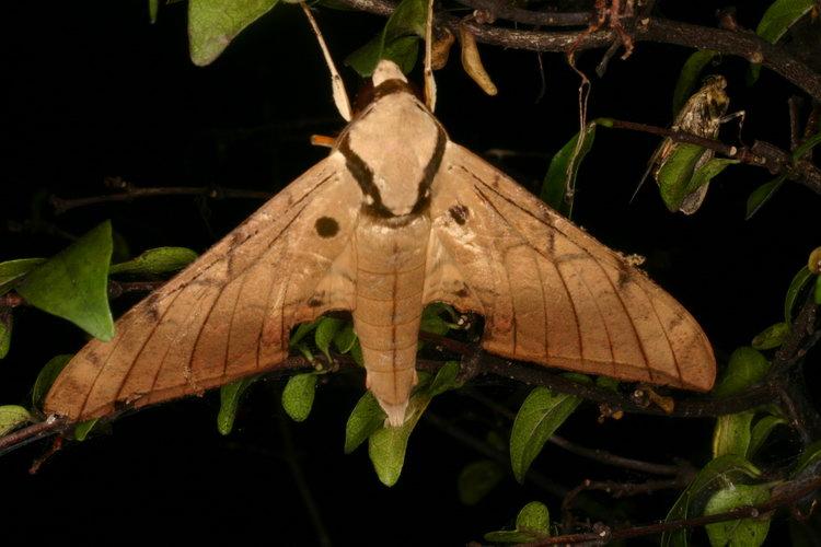 Sưu tập Bộ cánh vẩy 2 - Page 3 Ambulyx%20clavata%2010