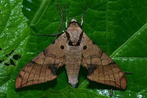 Sưu tập Bộ cánh vẩy 2 - Page 4 Ambulyx%20substrigilis%20cycastica