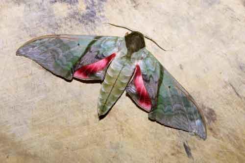 Sưu tập Bộ cánh vẩy 2 - Page 5 Callambulyx%20rubricosa1