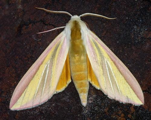 Sưu tập Bộ cánh vẩy 2 - Page 7 Leucophlebia%20lineata